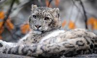 Snow leopards frequently spotted in northwest China