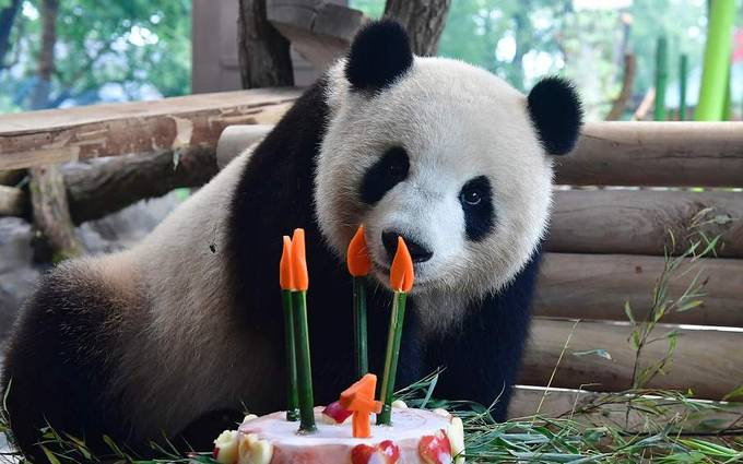 Chinese panda Meng Meng celebrates 4th birthday at Berlin zoo